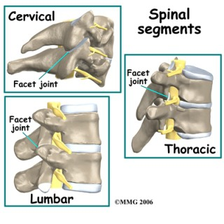 Bentuk sendi facet pada tiap area tulang belakang