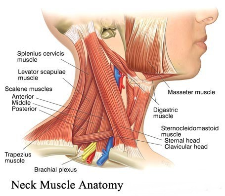 neck muscle anatomy