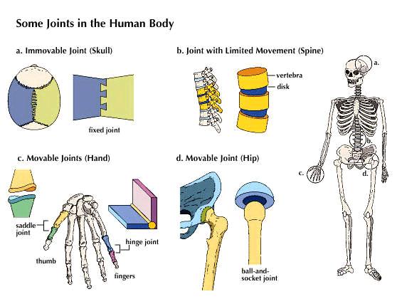 sendi pada manusia