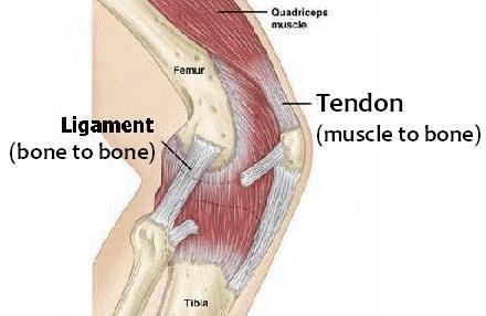 Perbedaan tendon dan ligamen
