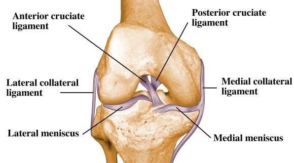 ligamen pada lutut