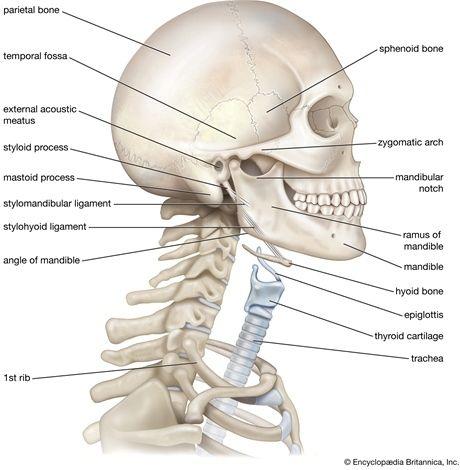 anatomi leher